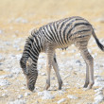 Wet Zebra foal — Stock Photo #55617273