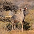 Постер, плакат: Greater Kudu bull
