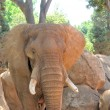 Elephant flapping its ears — Stock Photo #55752177