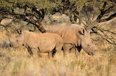 White rhino mother and calf — Stock Photo