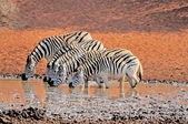 Zebras drinking water — Stock Photo