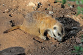 Meerkat in late afternoon sun — Stock Photo
