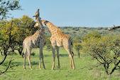 Two necking Giraffes — Stock Photo