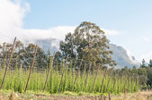 Hops growing near Herold — Stock Photo