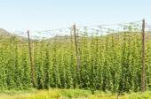 Hops next to the road above the Outeniqua Pass — Stock Photo