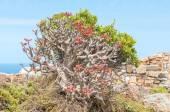 Flowers of a botterboom or butter tree, Tylecodon paniculatus — Foto de Stock
