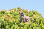 Chacma baboon in a protea shrub  — Stock Photo