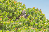 Chacma baboon in a protea shrub — Stock Photo