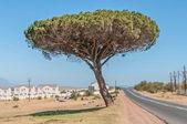Pine tree in Somerset West — Stock Photo