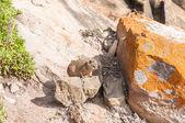 Juvenile Rock Hyrax — Stock Photo