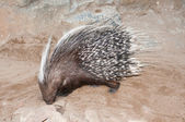 Cape porcupine — Stock Photo