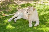 White lioness — Stock Photo