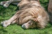 Sleeping white lion — Stock Photo