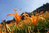 Orange lily flower — Stock Photo