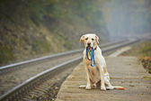 Dog on the railway platform — Stock Photo