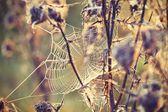 Thistle with cobweb — Stock Photo