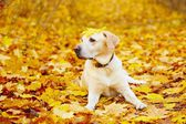 Dog in autumn — Foto de Stock