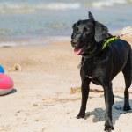 Dog on a beach — Stock Photo #51865989