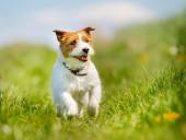 Jack Russell Terrier dog — Stock Photo
