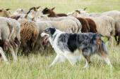 Border collie dog herding a flock of sheep — Stock Photo