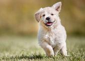 Playful golden retriever puppy — Stock Photo