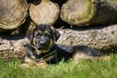 German shepherd dog in front of woodpile — Stock Photo
