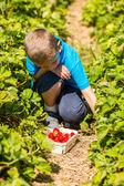 Boy picking strawberries — Stock Photo