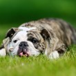 Purebred bulldog — Stock Photo #52896031