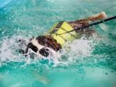 St Bernard dog taking a swim — Stock Photo