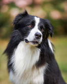 Upper body of black border collie — Stock Photo
