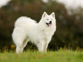 Pedigree samoyed dog — Stock Photo