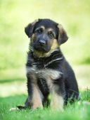 German shepherd puppy with tilted head — Stock Photo