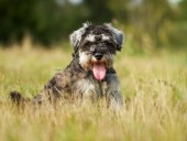 Pedigree terrier dog — Stock Photo