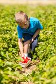 Young boy picking strawberries — Stock Photo