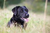 Pedigree labrador dog — Stock Photo