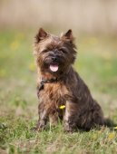 Brown Cairn Terrier Dog — Stock Photo