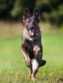 Running German Shepherd Dog — Stock Photo