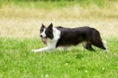 Running border collie — Stock fotografie