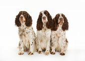 Three longhaired pointer dogs — Stock Photo