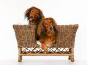 Two longhaired dachshund dogs in dog sofa — Stock Photo