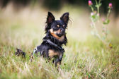 Pedigree chihuahua dog — Stock Photo