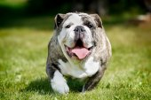 Purebred bulldog — Stock Photo