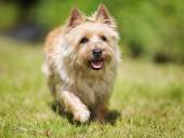 Westland terrier dog — Stock Photo