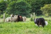 Border collie herding sheep — Stock Photo