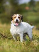 Pedigree Jack Russell Terrier dog — Stock Photo