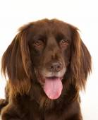 Face of brown longhaired pointer dog — Stock Photo