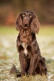 Purebred pointer dog — Stock Photo