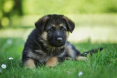 German shepherd puppy lying in the grass — Stock Photo