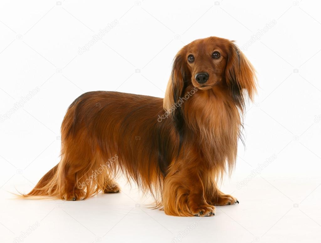 L 229 Ngh 229 Rig Tax Hund Stockfoto 76624271 Depositphotos
