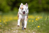 Icelandic Sheepdog outdoors in nature — Stock Photo